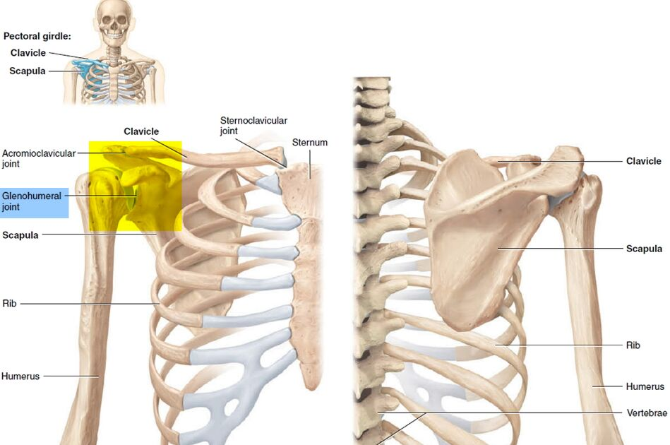 Glenohumeral Joint Anatomical Location In Human Body