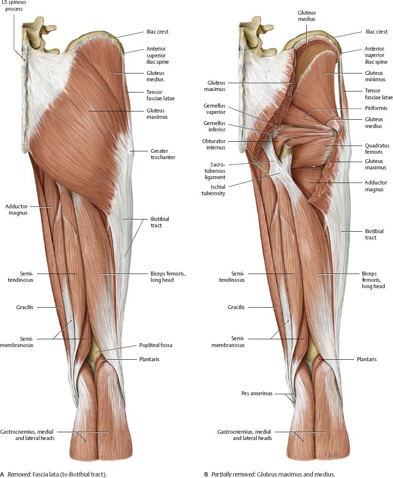 Thigh Muscle Anatomy Posterior View Removed Gluteus Maximus And Medius
