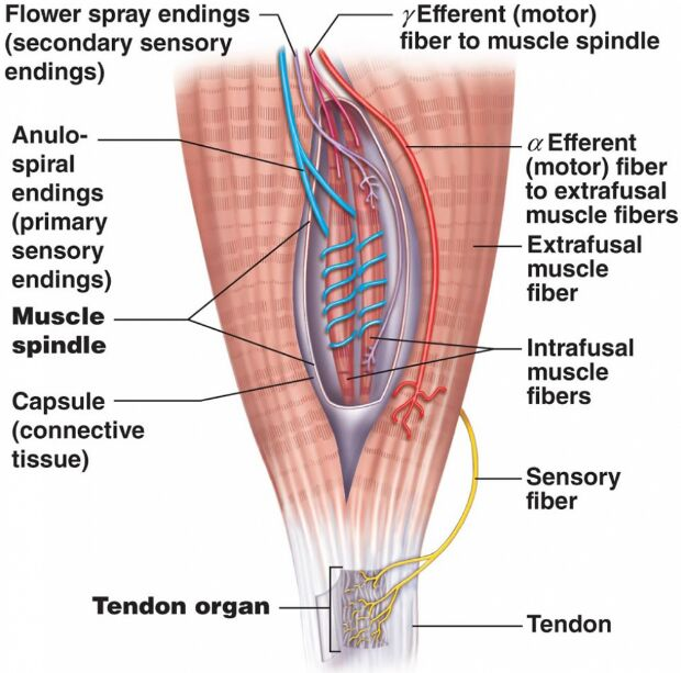 Peripheral Nervous System And Muscle Connection
