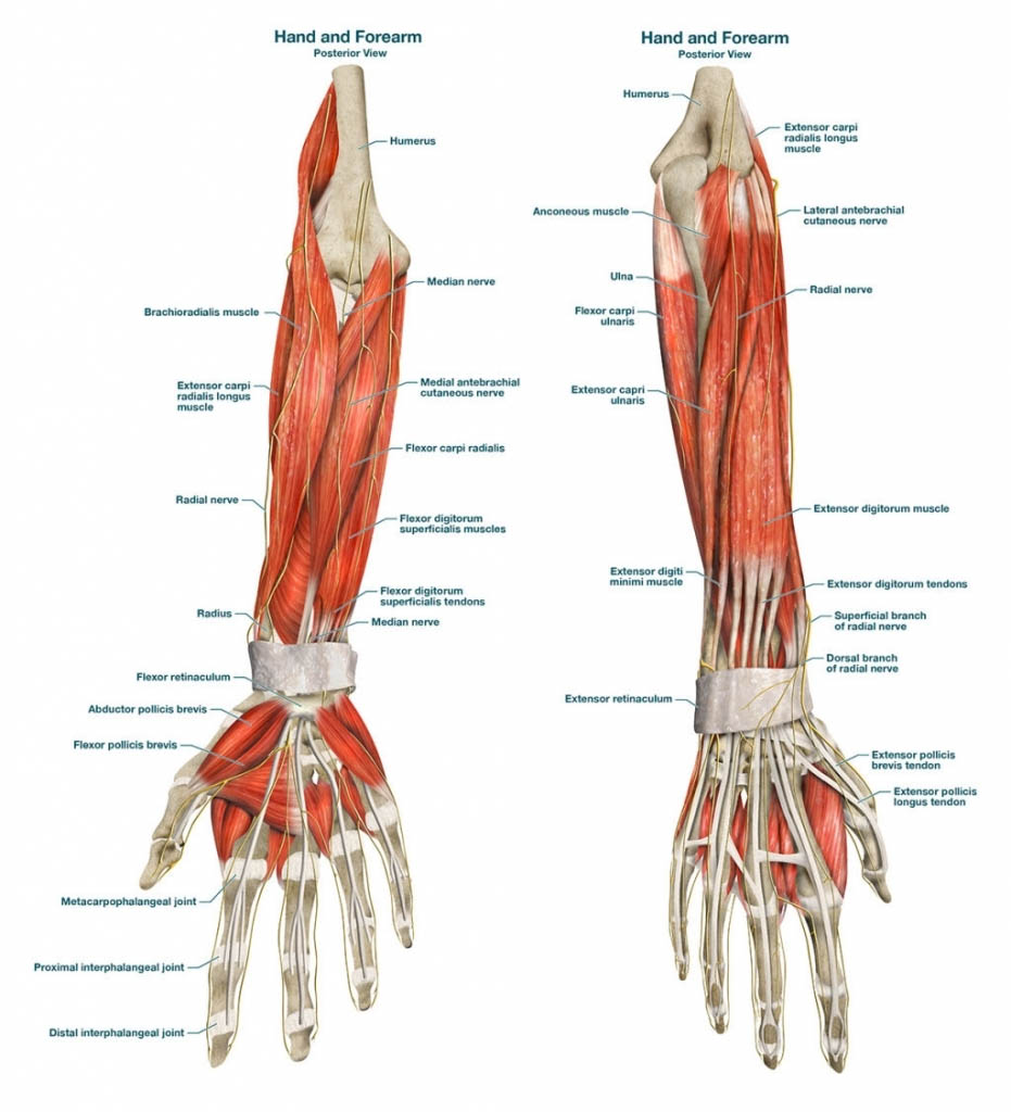 Hand And Forearm Muscle Anatomy Anterior View And Posterior View