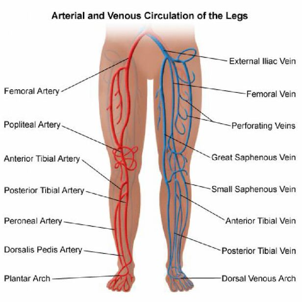 Arterial And Venous Circulation Of The Legs