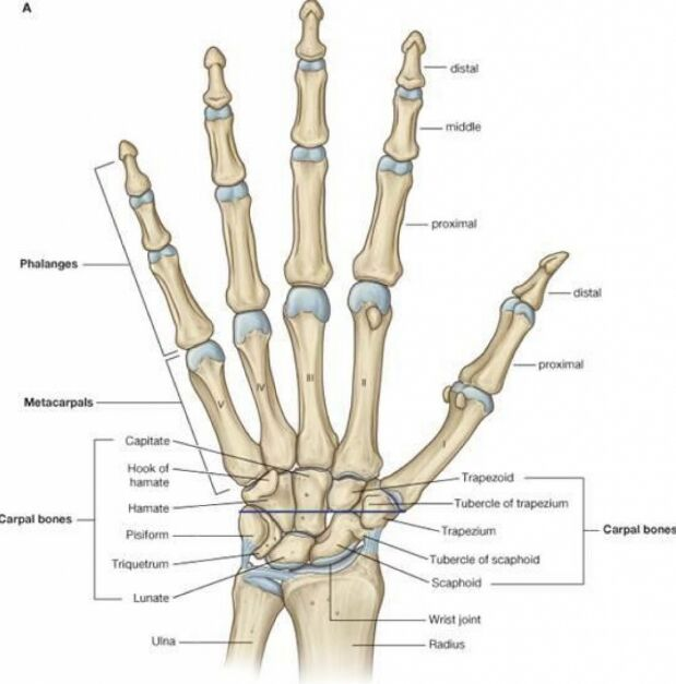 Hand Skeleton Anatomy Carpal Bone Anatomy
