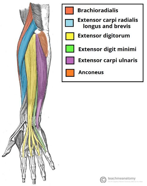 Forearm Muscle Anatomy With Color