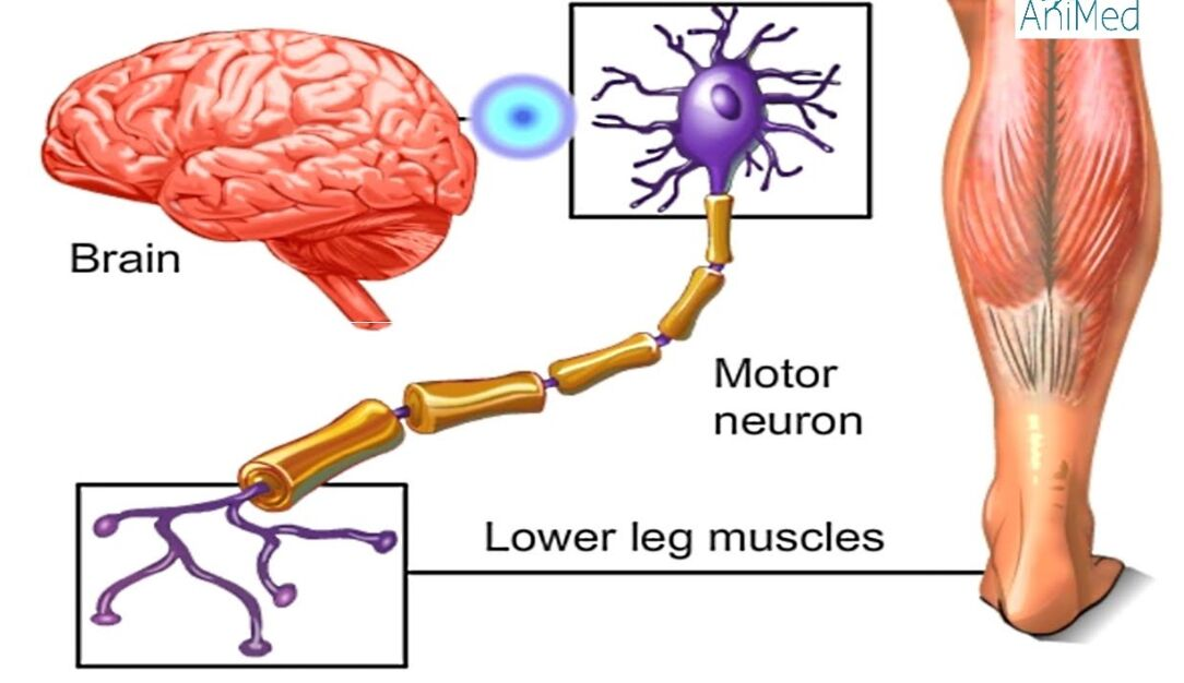 Brain Motor Neuron And Lower Leg Muscle