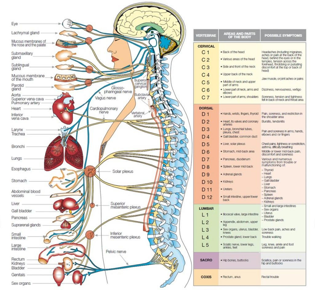 Body Nervous System Diagram Innervation Area In Detail