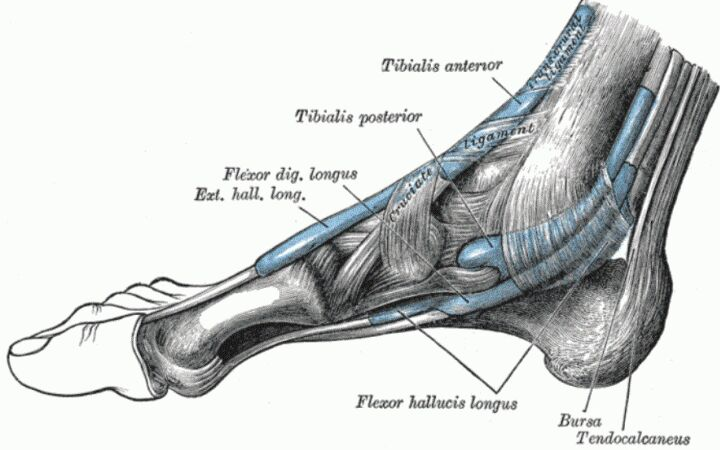 Foot Tendon Median View