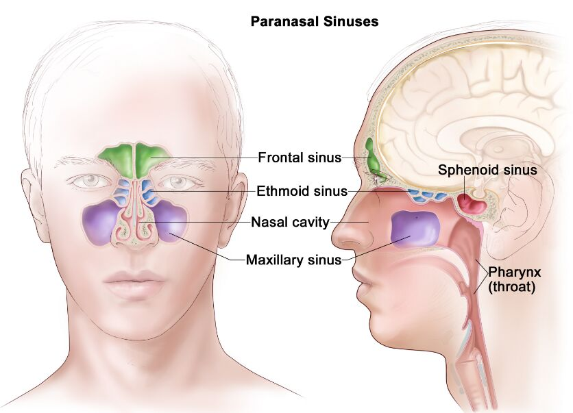 Paranasal Sinuses In Head