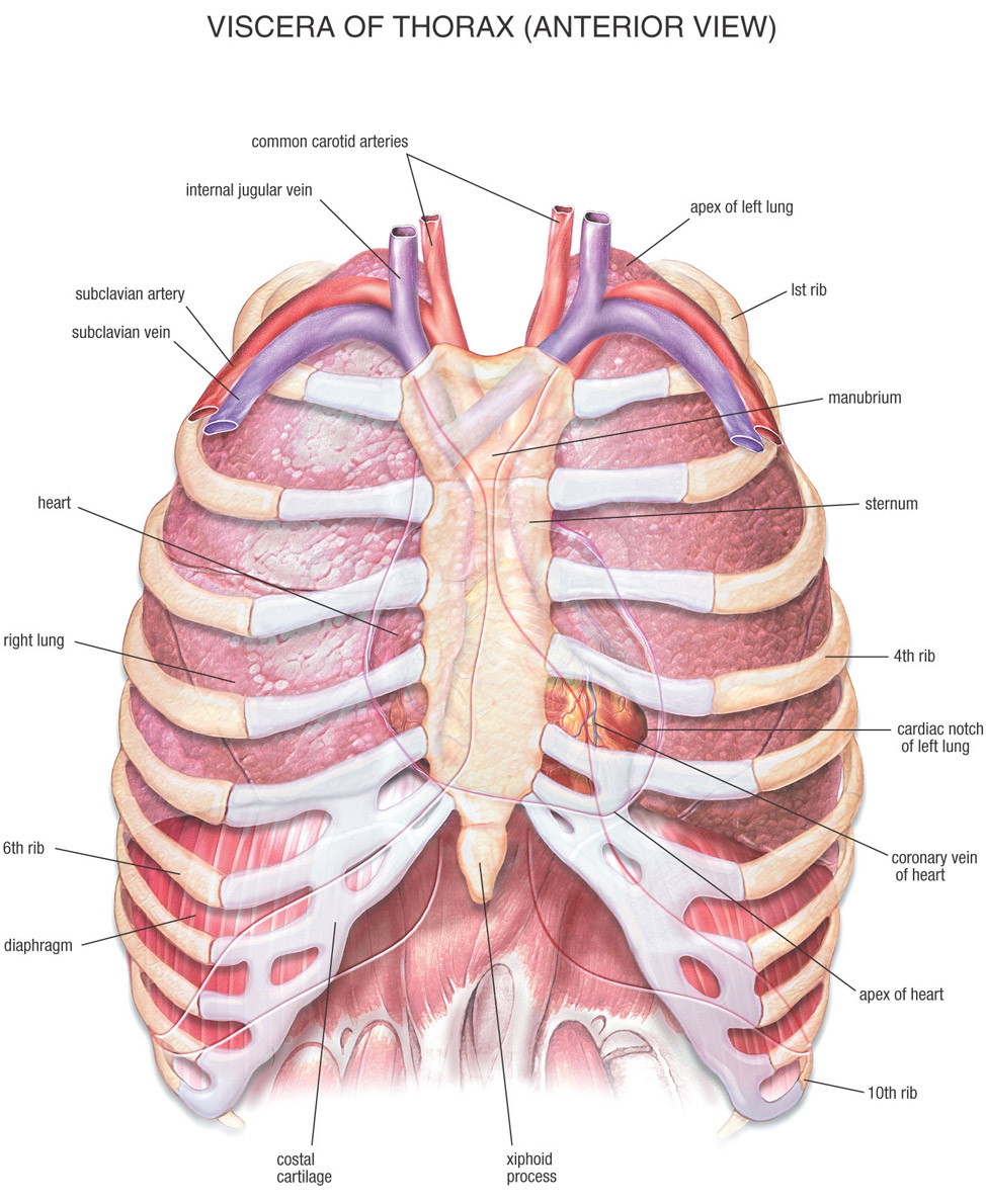Chest Bone, Ribs, Lung, Heart, Xiphoid Process, Sternum Anatomy