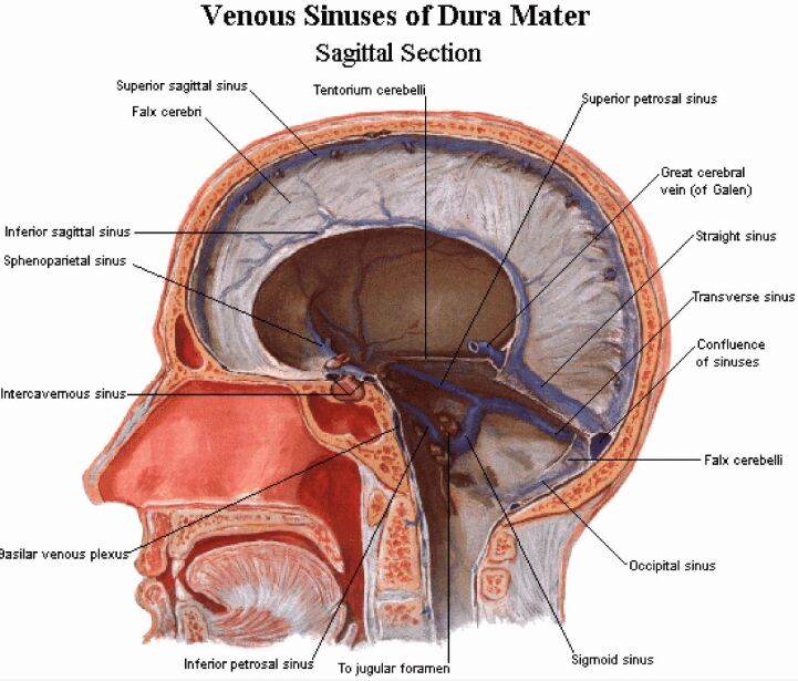 Venous Sinuses Of Dura Mater Sagittal Section