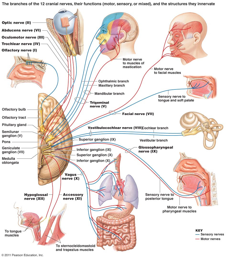 12 Cranial Nerves Branches Innervation And Function