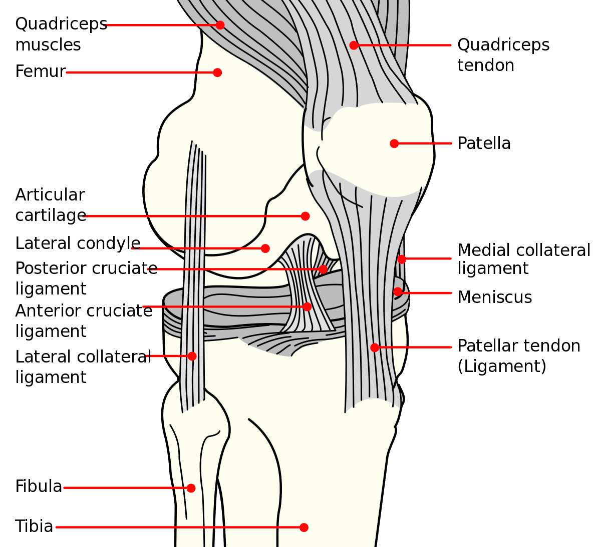 Knee Joint Anatomy Lateral View In Detail