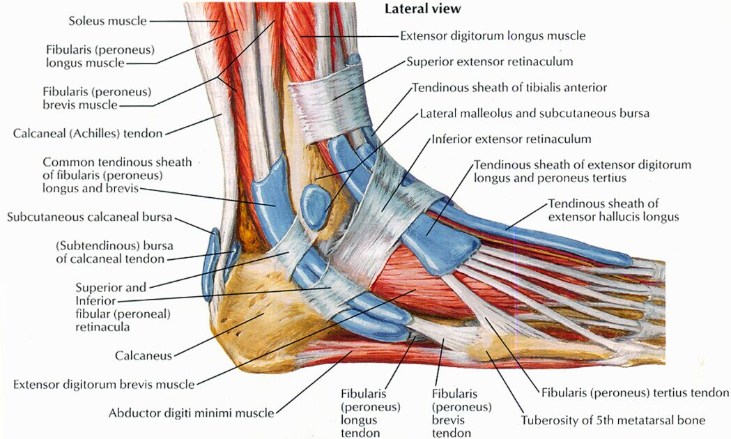 Lateral View Of Foot Anatomy