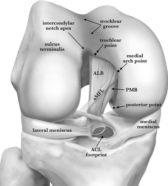 Knee Joint Anatomy In Detail