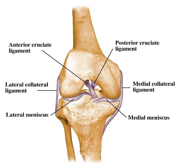 Knee Ligament, Cruciate Ligament, Meniscus