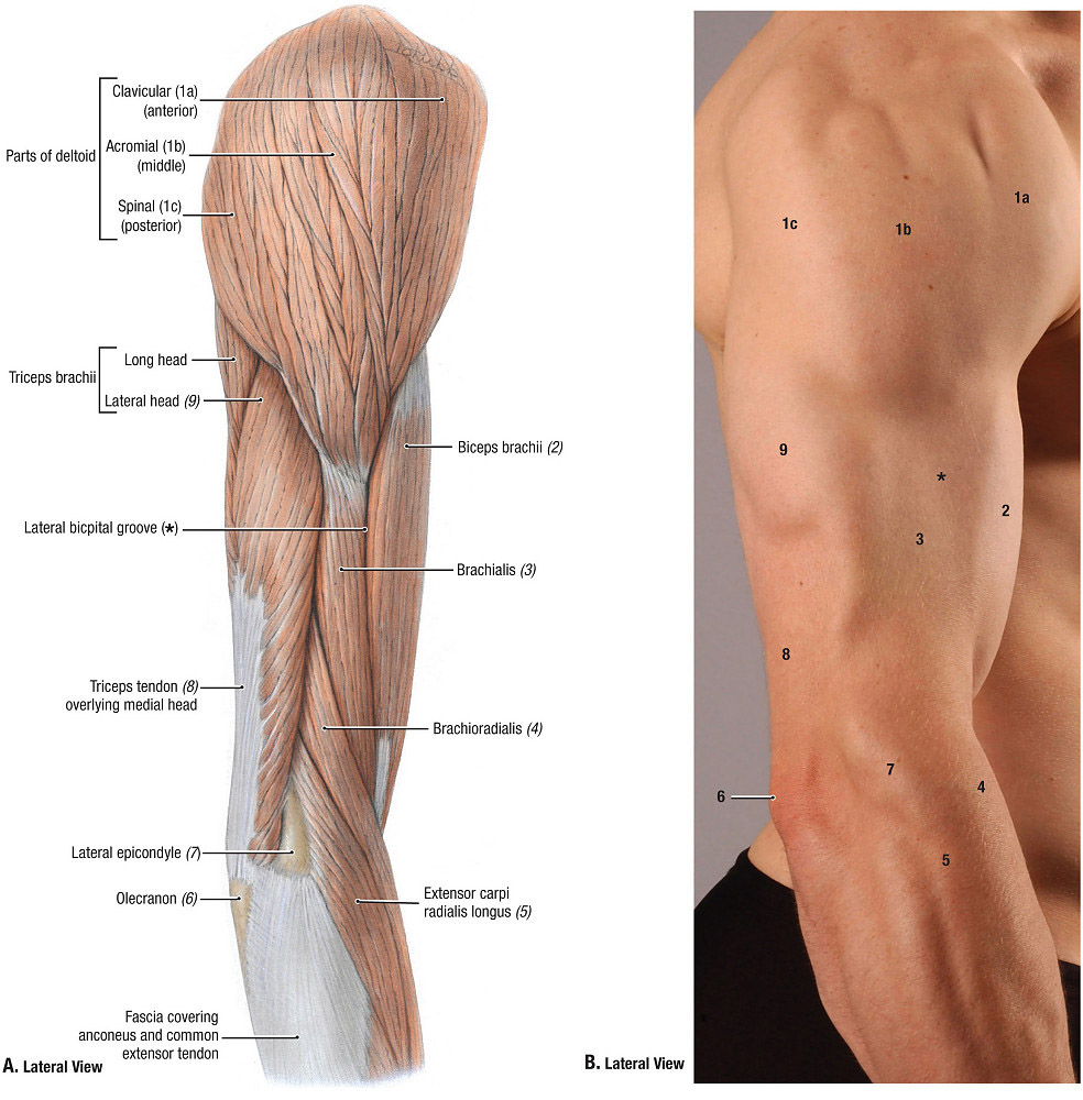 Upper Extremity Muscle Anatomy And Skin Superficial Landmark