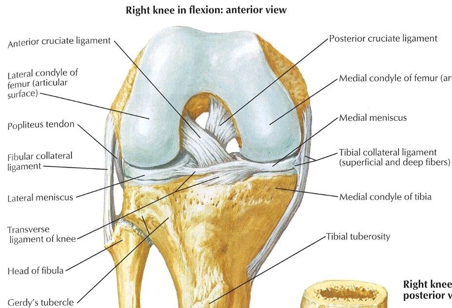 Right Knee In Flexion Anterior View
