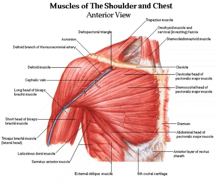 Shoulder And Chest Muscles Anterior View