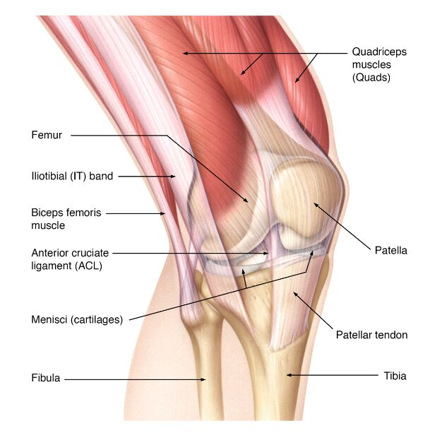 Knee Joint Anatomy Lateral View