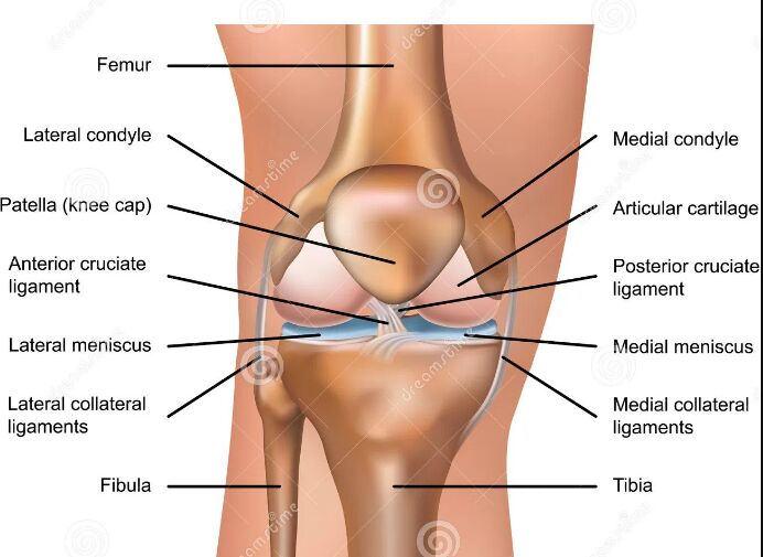 Right Knee Anatomy Anterior View