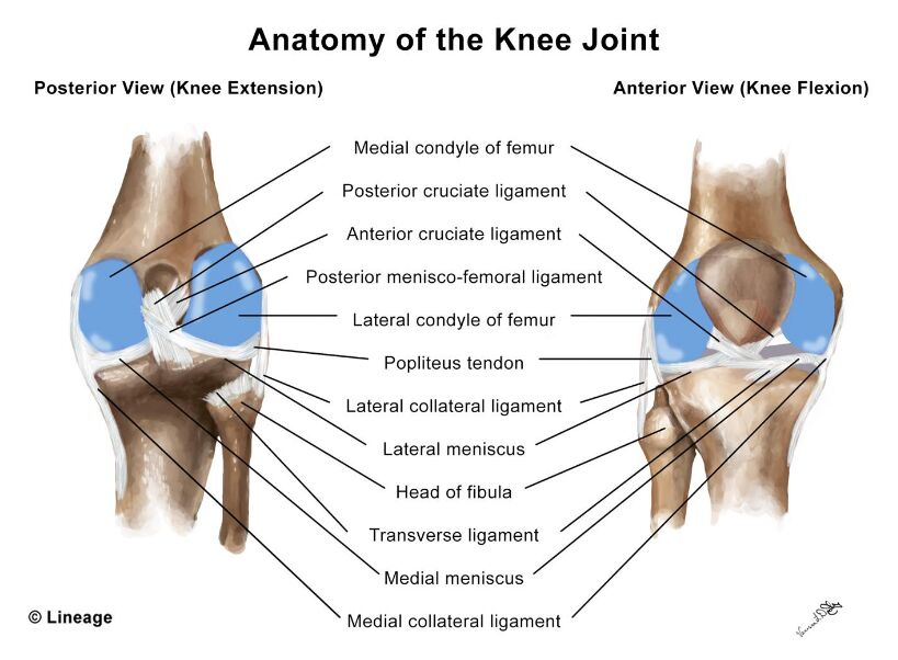Knee Anatomy Anterior View And Posterior View