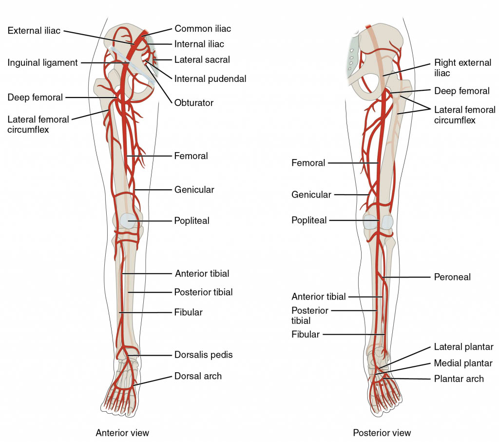 Lower Extremity Leg Artery Anatomy Anterior View And Posterior View