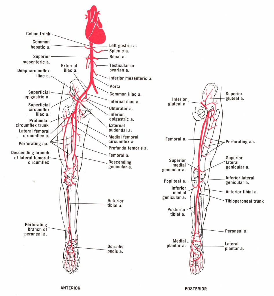 Anatomy Of Lower Extremity Leg Artery Supplement Diagram