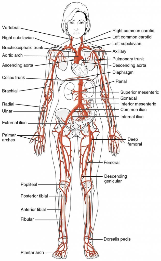 Human Artery Circulation In Detail Female Diagram