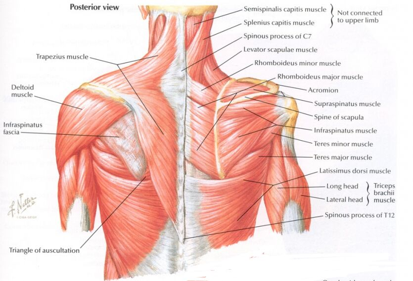 Posterior View Of Thorax Muscle Anatomy
