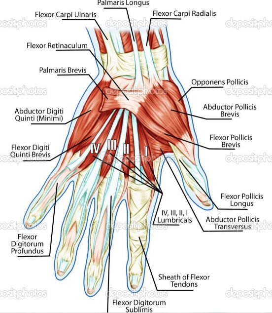 Hand Muscle And Tendon Anatomy Dorsal View