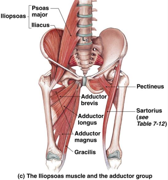 Iliopsoas Muscle And Adductor Group Muscle Anatomy