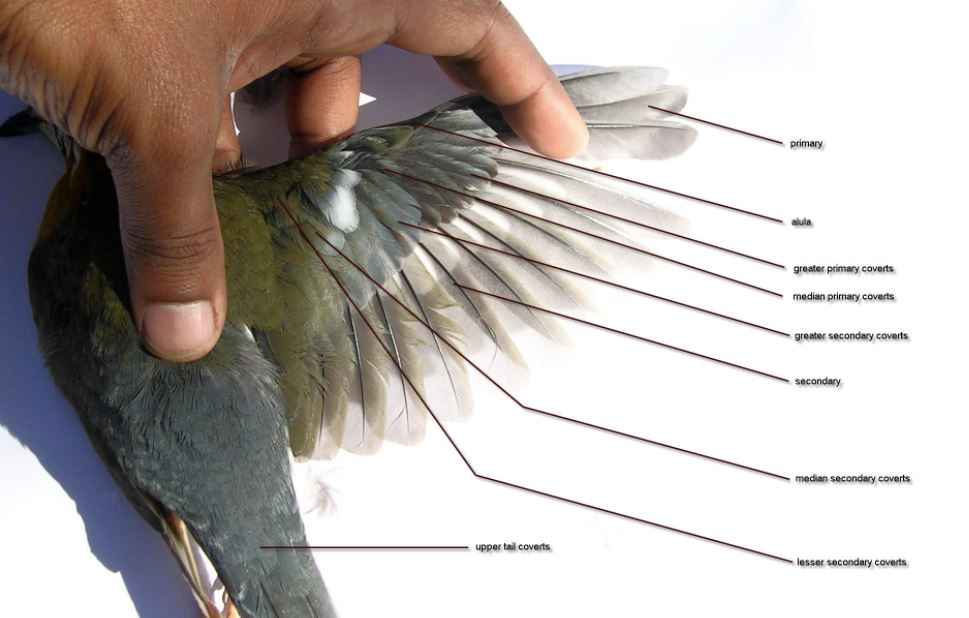 Wing Anatomy In Real Bird
