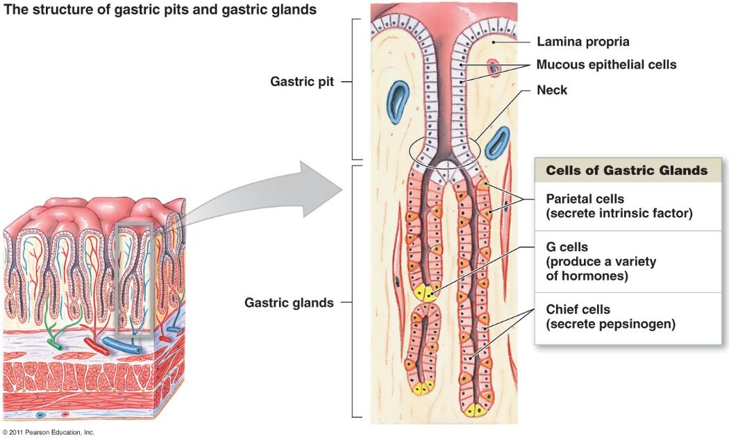 Gastric Pits And Gastric Gland Sectional Anatomy