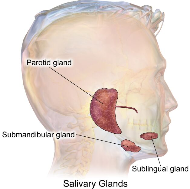 Parotid Gland, Submandibular Gland, Sublingual Gland
