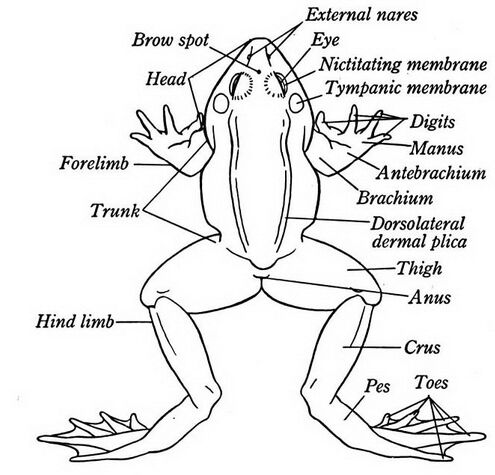 Frog External Anatomical Parts Name