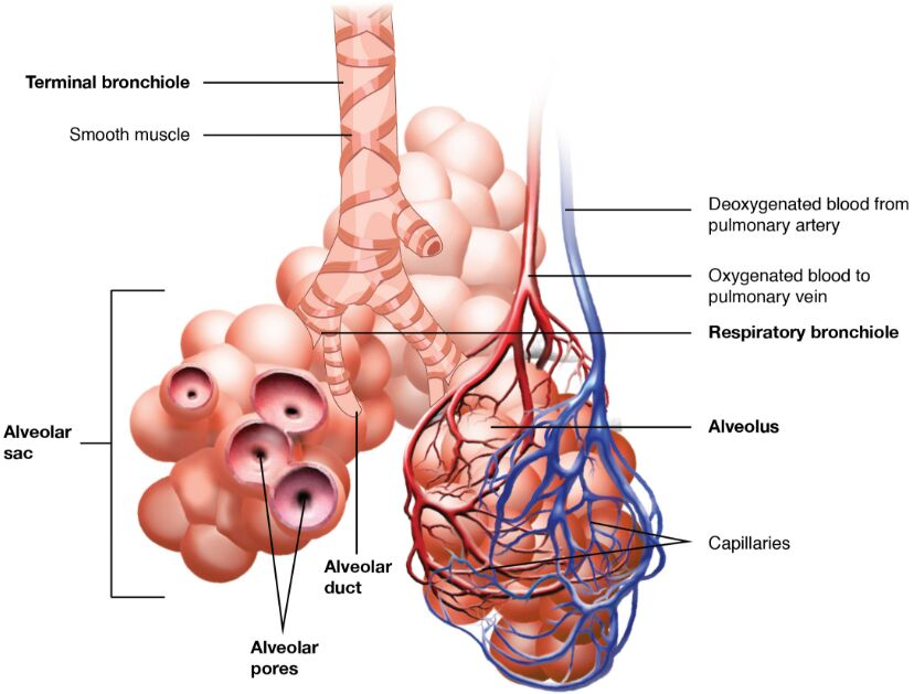 Terminal Bronchiole Anatomy In Detail