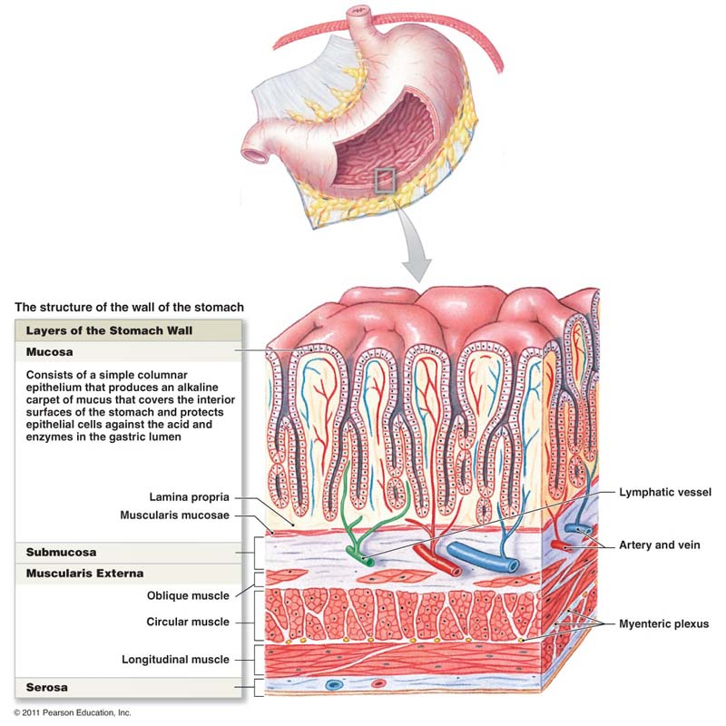 Stomach Wall Structure Anatomy And Cell Components