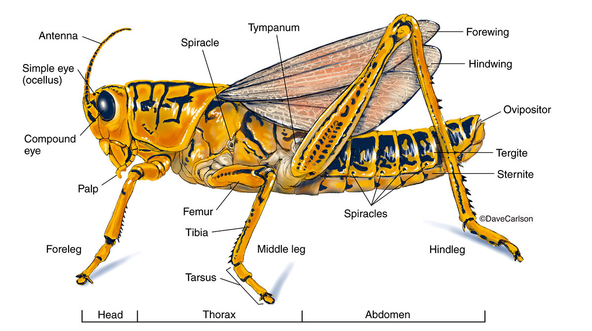 Grasshoppers Anatomy View