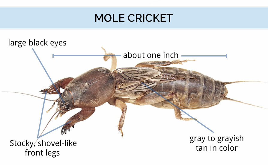 Mole Cricket Anatomy