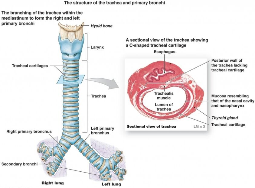 Trachea And Primary Bronchi Anatomy