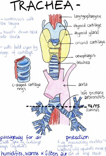 Trachea Gross Anatomy