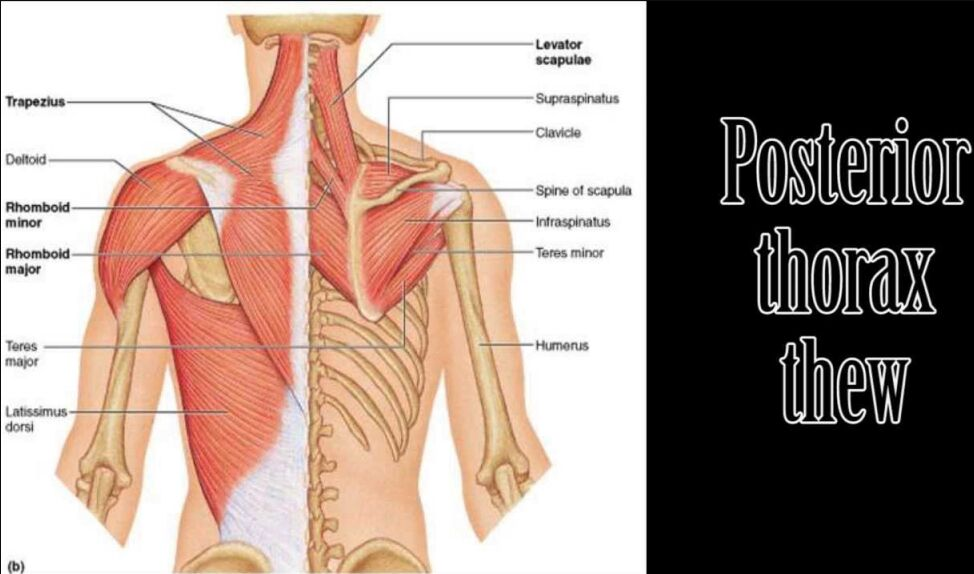 Posterior Thorax Thew