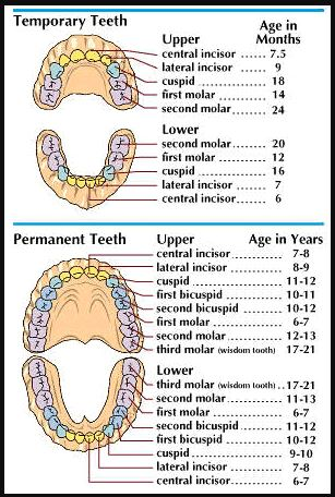 Temporary Teeth In Child And Permanent Teeth In Adult