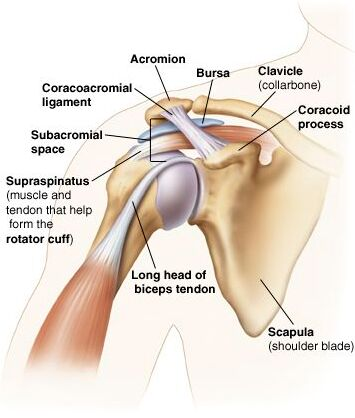 Right Shoulder Joint Anatomical Structure