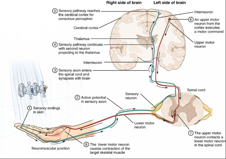 Sensorial Nerves Function Diagram From Skin To Brain