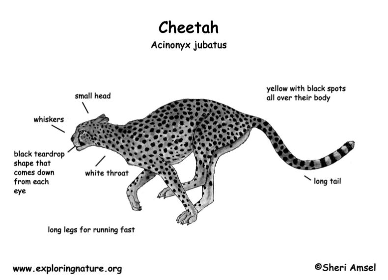 Cheetah Acinonyx Jubatus External Anatomy