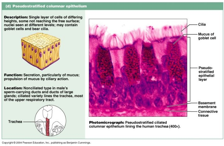 Pseudostratified Columnar Epithelium Gross Anatomy