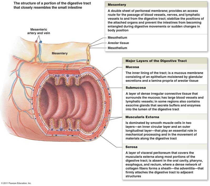 Small Intestine Sectional Anatomy