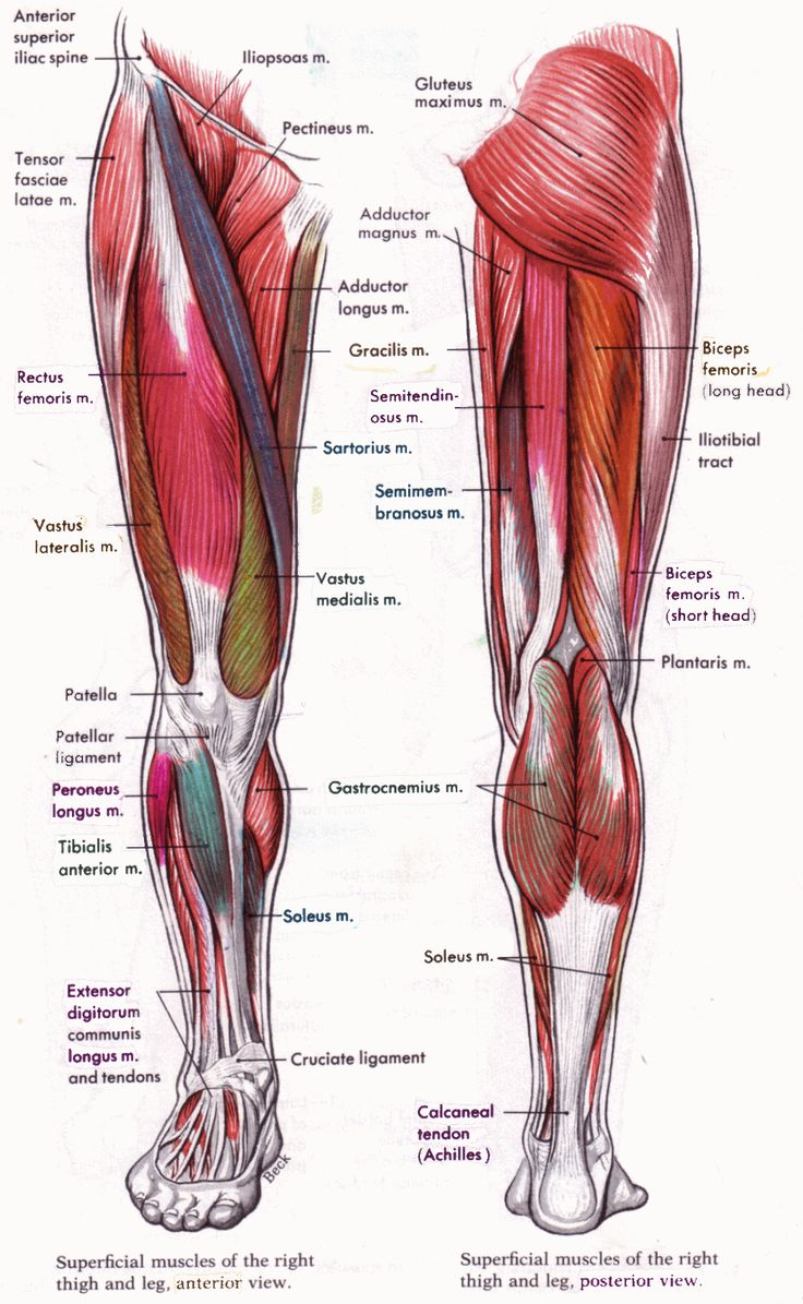 Superficial Muscle Of The Right Thigh And Leg Anterior Posterior View