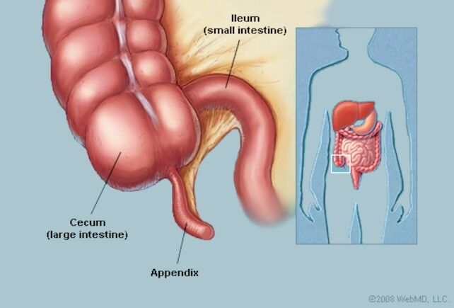 Appendix Location In Human Body