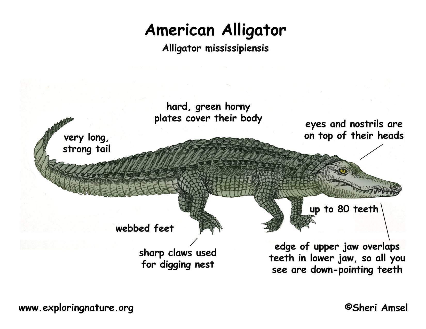 Alligator (american) Gross Anatomy